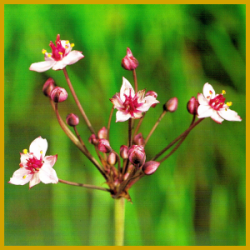 Blumenbinse, eine mehrjährige Sumpfpflanze