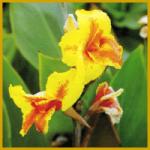Das Blumenrohr, eine farbenprächtige Pflanze