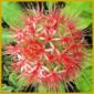 Blutblume, gedeiht bei uns recht gut als Zimmerpflanze