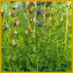 Bohnenkraut ist eine alte Gewürz und Heilpflanze
