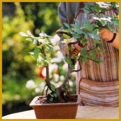 Bonsaipflege - Bonsai, Einkaufen und Pflege