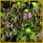 Borretsch, eine robuste, schnell wachsende Gewürzpflanze