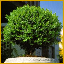Der Buchsbaum, eine ausgezeichnete Kübelpflanze