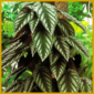 Bunte Klimme ist eine farbenfrohe Kletterpflanze, sie kann alt werden