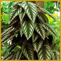 Die Bunte Klimme ist eine Kletterpflanze