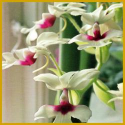 Calanthe ist eine Topforchidee die in Erde wächst