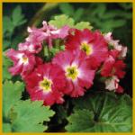 Chinesenprimel, von Oktober bis Mai, dichte Blüten
