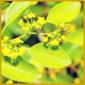 Christdorn, eine robuste Kübelpflanze mit buschigem Wuchs