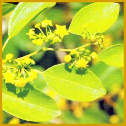 Christdorn, eine robuste Kübelpflanze