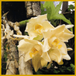 Chysis gehört nicht zu den häufigsten Orchideen