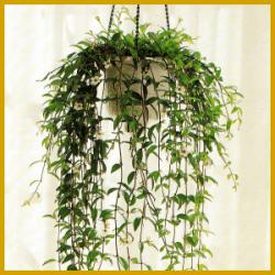 Codonanthe, eine der problemlosesten Ampelpflanzen