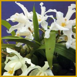 Coelogyne, gehört nicht zu den einfachsten Orchideen