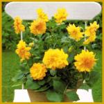 Dahlie, gehören zur Pflanzenfamilie der Korbblütler