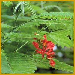 Delonix, eine Pflanze für ein Treibhaus oder Wintergarten