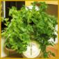 Dreimasterblume, besonders gut für Ampeln oder Schalen