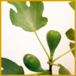 Der Echte Feigenbaum, (Ficus carica)
