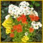 Elfenspiegel, eine kurzlebige buschig verzweigte Sommerblume