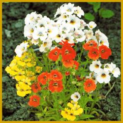 Elfenspiegel, eine kurzlebige Sommerblume