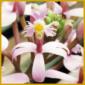 Epidendrum ist eine große und artenreiche Orchideengattung