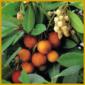 Erdbeerbaum, eine schön anzusehende Kübelpflanze
