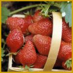 Erdbeere, man kann sie auch in Balkonkästen ziehen