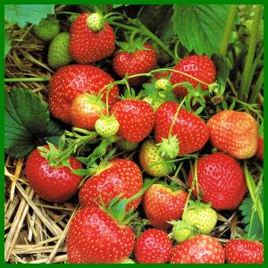 Erdbeeren kann man auch in Balkonkästen ziehen