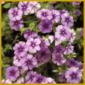 Flammenblume oder Phlox,  reichblühende Sommerblume