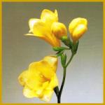 Freesien sind beliebte Schnittblumen