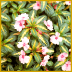 Gartenbalsamine, eine schöne und dankbare Pflanze