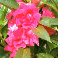 Gartenbalsamine