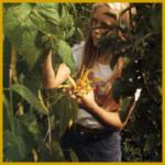 Gartenbohne, eine dekorative Nutzpflanze