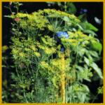 Gartendill ein aromatisches Gewürzkraut