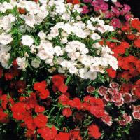 Gartennelken