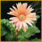 Gerbera, eine buschige Pflanze mit Blüten in vielen Farben