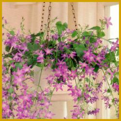 Glockenblumen blühen von Juni bis August