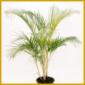 Goldfruchtpalme, eine ausgesprochen elegante Palme