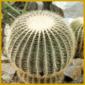 Goldkugelkaktus, kann bis zu 80 cm Durchmesser bekommen