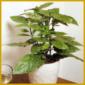 Goldorange ist eine recht einfache Pflanze, ideal ist Halbschatten