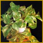 Goldranke, gehört zu den anspruchsloseren Kletterpflanzen