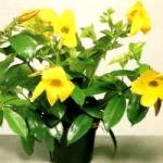 Goldtrompete, eine der schönsten tropischen Kletterpflanzen