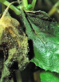 Grauschimmel ist eine weit verbreitete Krankheit