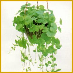 Gundermann ist eine üppige Pflanze mit langen Ranken