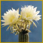 Haarcereus ist ein Säulenkaktus mit trompetenförmigen Blüten