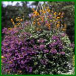 Hängepflanzen in der Blumenampel