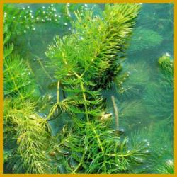 Hornblätter sind schöne, leicht zu züchtende Wasserpflanzen