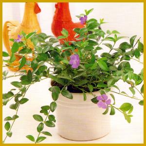 Immergrün, eine Pflanze mit kriechendem, rankigem Wuchs