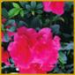 Indische Azalee, die Blüten sind schön exotisch anzusehen