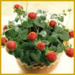Indische Erdbeere, eine hübsche kleine Hängepflanze