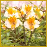 Die Inkalilie ist eine üppige Pflanze mit vielen Blüten
