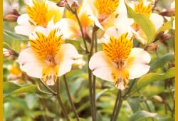 Die Inkalilie, eine üppige Pflanze mit vielen Blüten